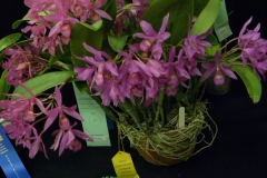 Best-Cattleya-Alliance-Specimen-Plant-Eunice-Walker