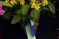 Best-Cattleya-Flower-excl.-Cattleya-Eunice-Walker