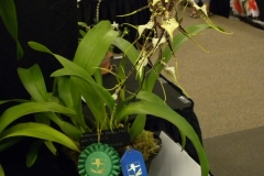 Best-Oncid.-Alliance-Flower-Exc.-Onc.-Tolm.-Barbara-Crist-Maclellanara-Yellow-Star