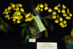 Best-Oncidium-Flower-Kathryn-Romine-Onc.-Sweet-Sugar-Million-Dollar