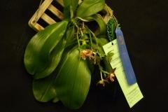 Best-Phal.-Species-Flower-Lori-Van-Buskirk