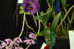 Best-Phal.-Type-Den.-Flower-Mary-Lane