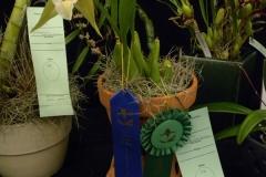 Best-Species-Other-Genera-Flower-Ritchie-Jasmine-Coelogyne-lawrenceara