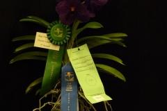 Best-Vanda-Hybrid-Flower-Larger-Thank-3-Inch-Mary-Lane-V.-Khaoyai-Blue-Kultana