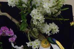Best-in-Show-Best-Den.-Flower-other-than-Phal.-Type-AOS-CCE-Anita-DeBona-Den.-Spring-Jewel-Miki