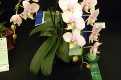 Outstanding-Phal.-Alliance-Specimen-Plant-Tom-ODonnell-Phal.-Jiahos-Pink-Girl