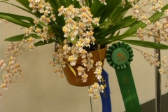 Oncidium-1st-Special-Commendation-Cultural-Excellence-Onc